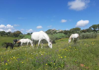 Pferde auf den Wild-Wiesen im Alentejo